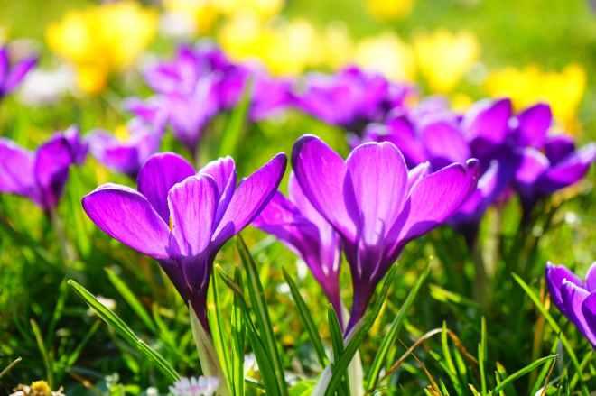 crocus-flower-spring-buhen-53595.jpeg
